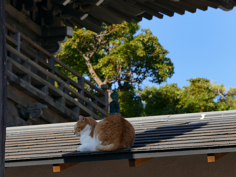 総門と屋根の上の茶白猫3