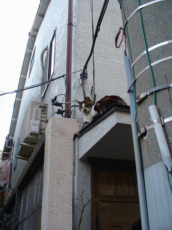 ビル玄関とキジ白猫1