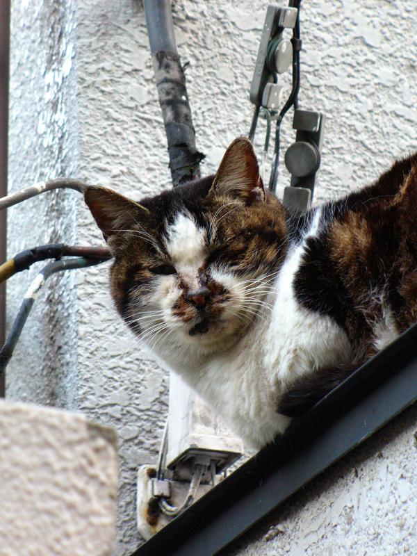 ビル玄関とキジ白猫2