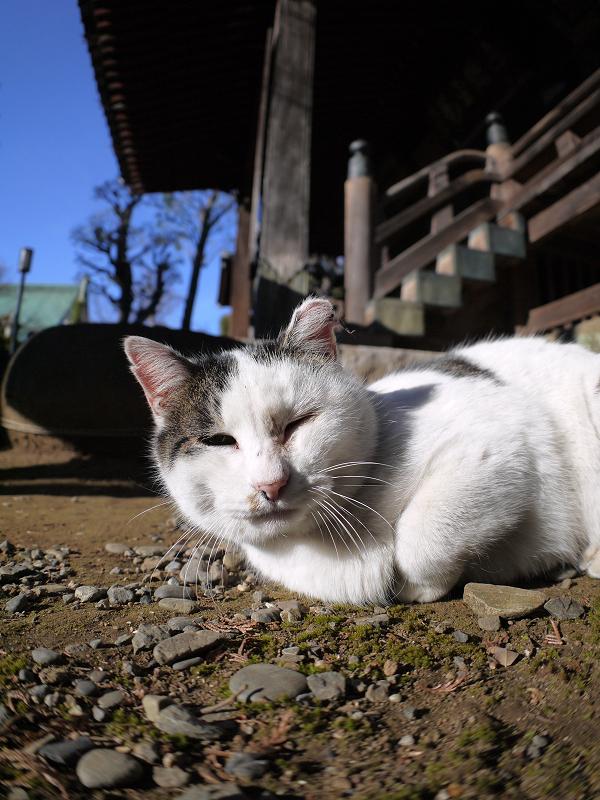 横になっていく白キジ猫1