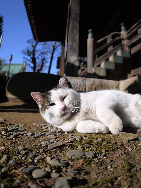 横になっていく白キジ猫2