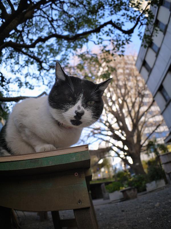 クスノキの下の白黒猫2