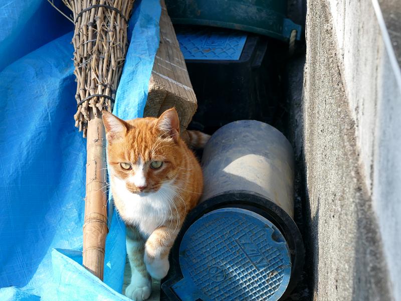 ブルーシート上を動き回る茶白猫1