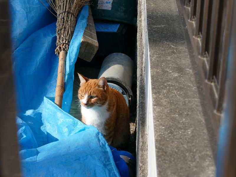 ブルーシート上を動き回る茶白猫2
