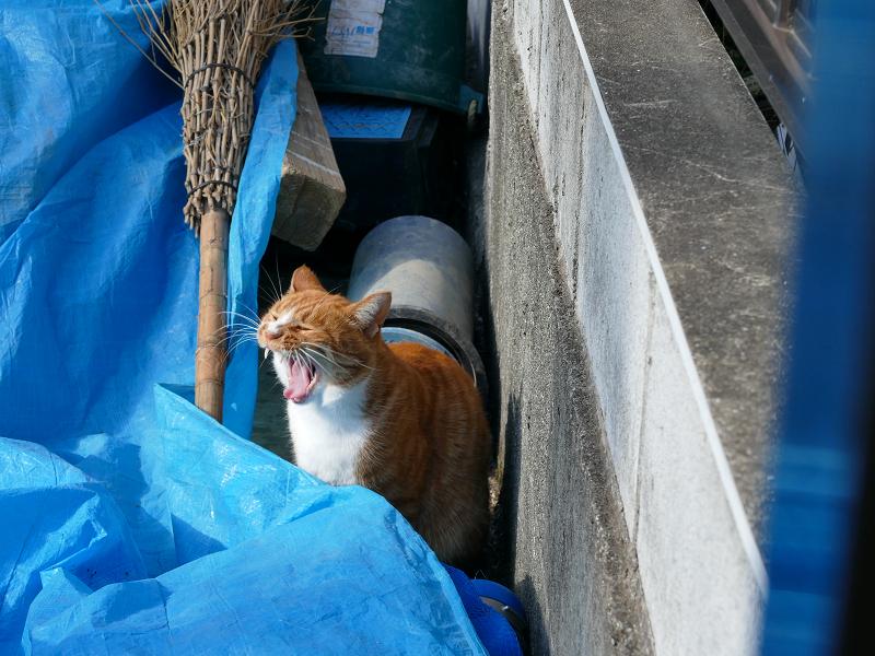 ブルーシート上を動き回る茶白猫4