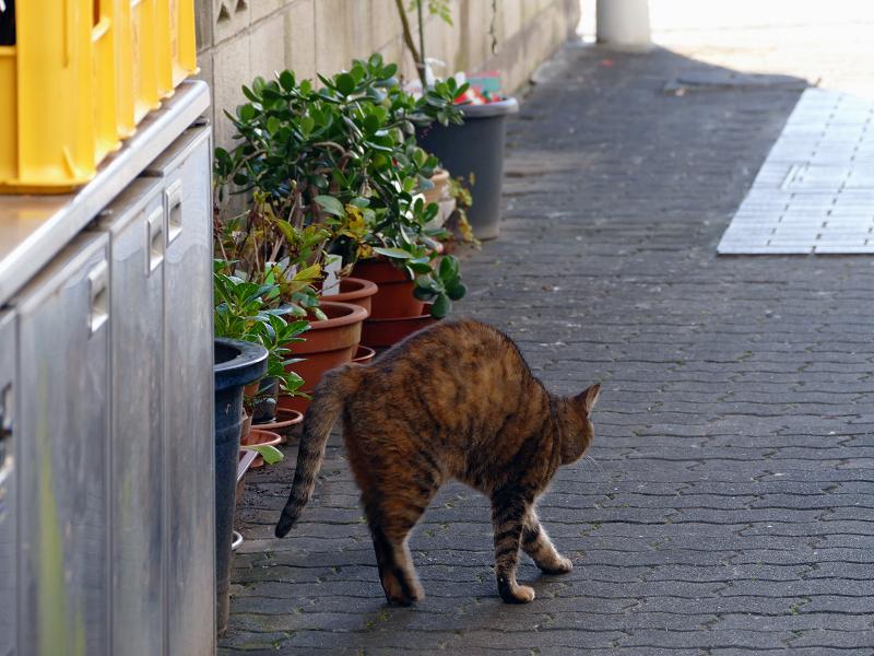 向こう向きで伸びをするサビ柄猫1