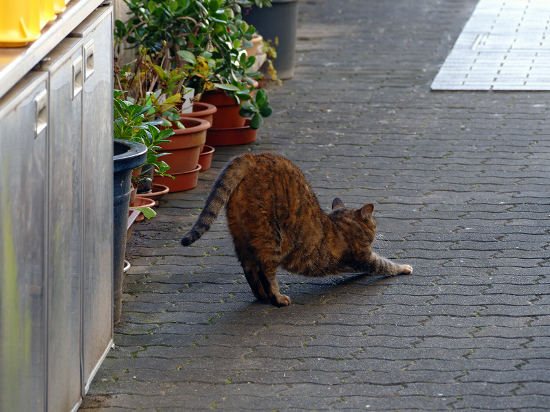 向こう向きで伸びをするサビ柄猫3