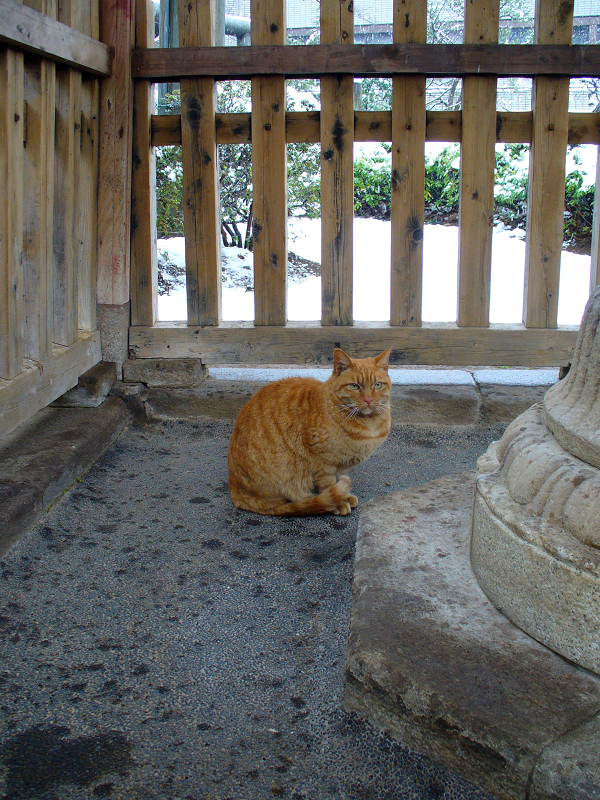 柵の中の茶トラ猫2