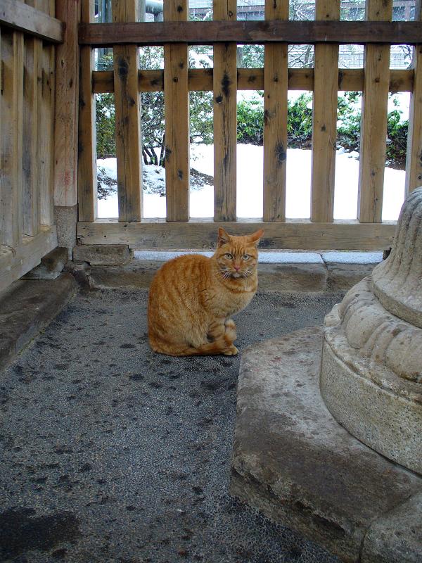 柵の中の茶トラ猫3