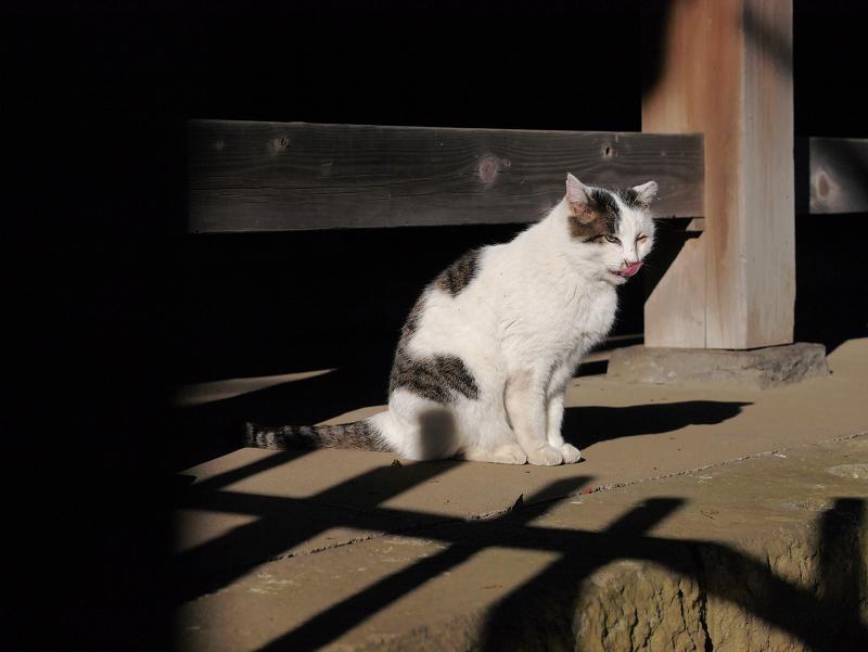 犬走りで毛づくろいする白キジ猫3
