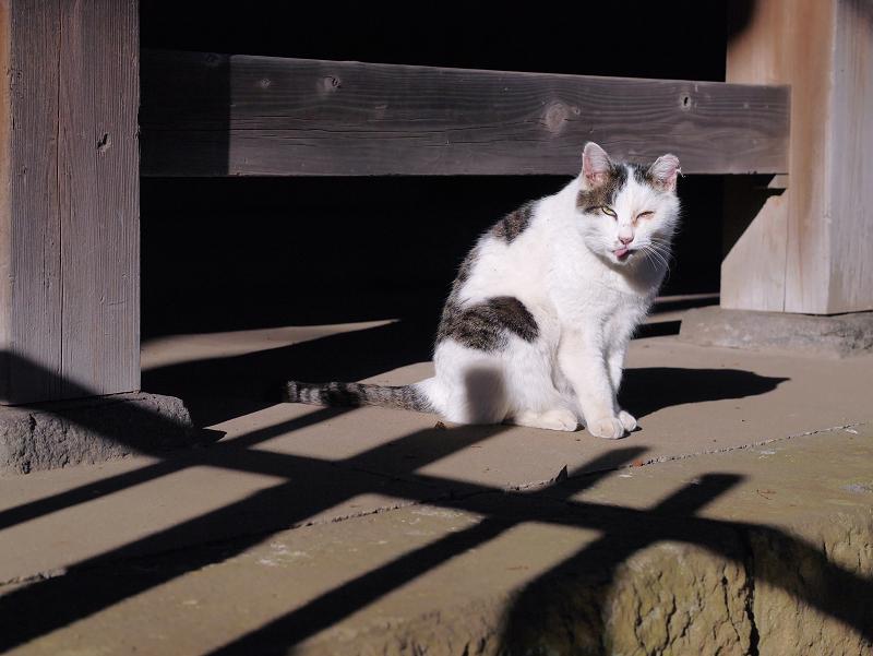 犬走りで毛づくろいする白キジ猫4