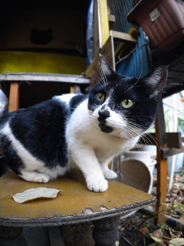 ハウス前の白黒猫5