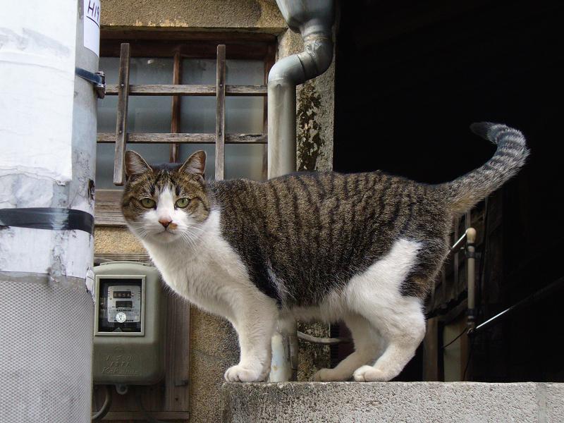 玄関ブロック塀とキジ白猫1