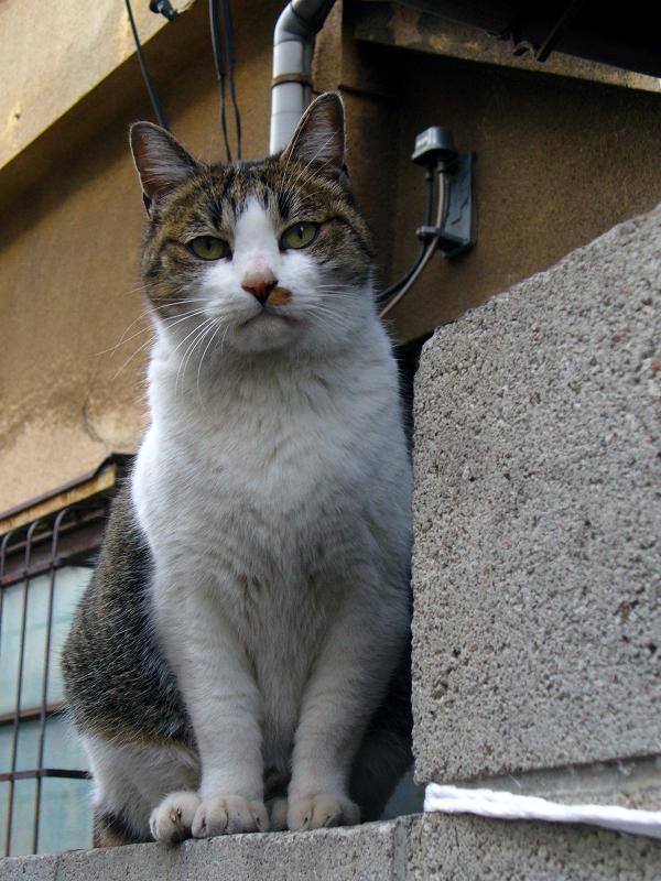 玄関ブロック塀とキジ白猫2