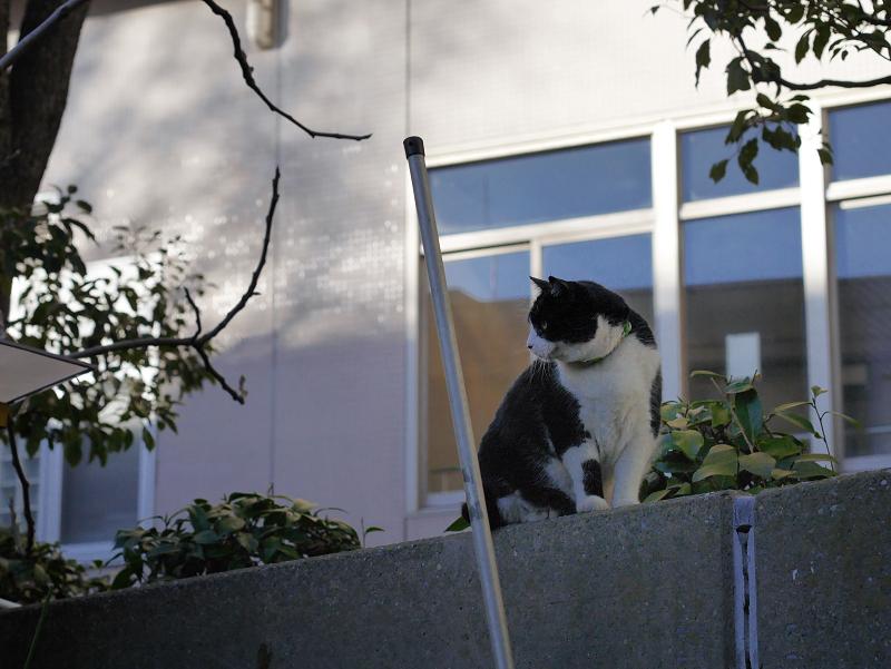 塀の上から見てる黒白猫