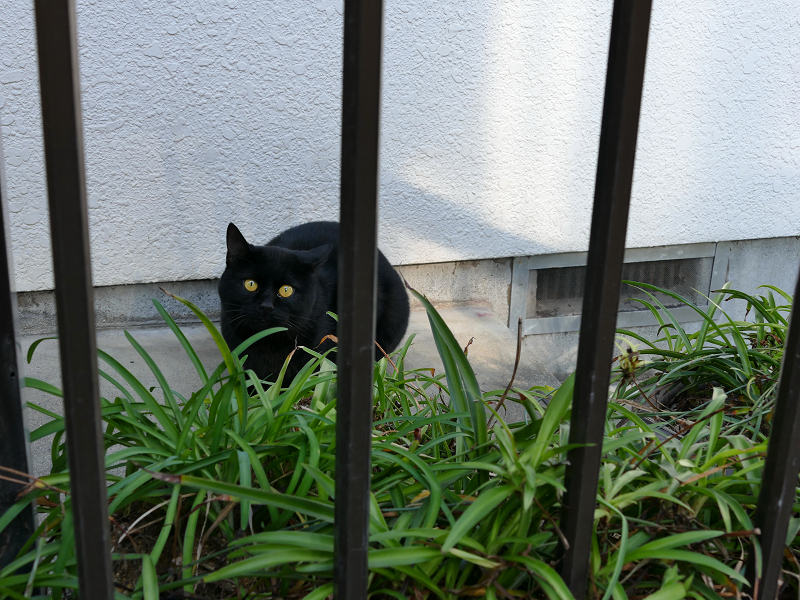 民家玄関の黒猫2