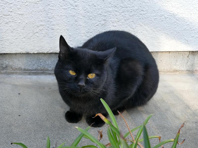 民家玄関の黒猫6