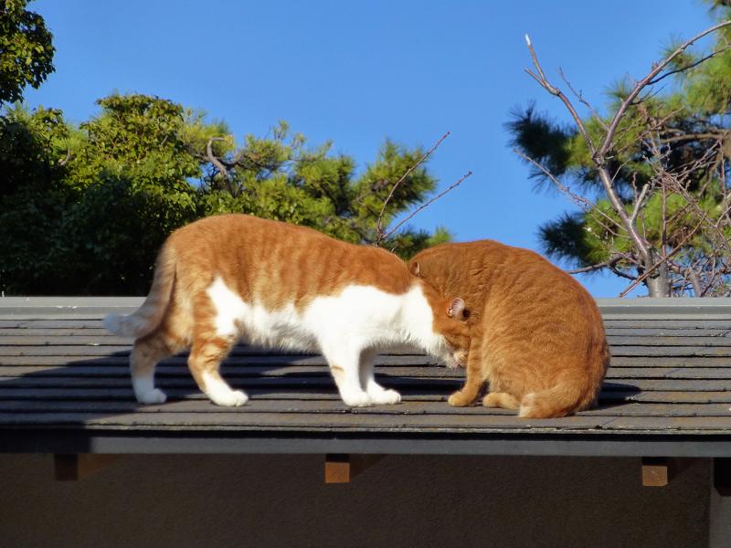 青空と屋根上の茶系の猫1