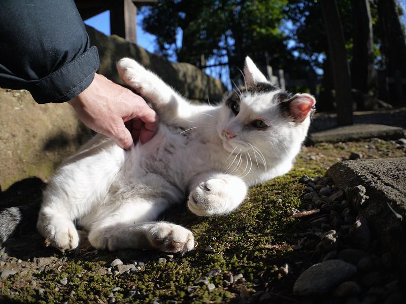 手を引っ掻く白キジ猫2