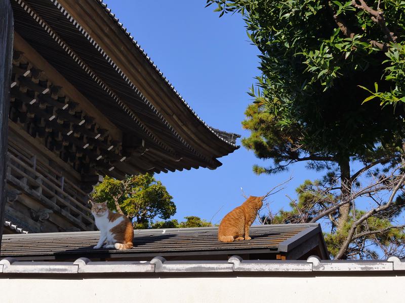 青空と屋根と山門と茶系の猫1