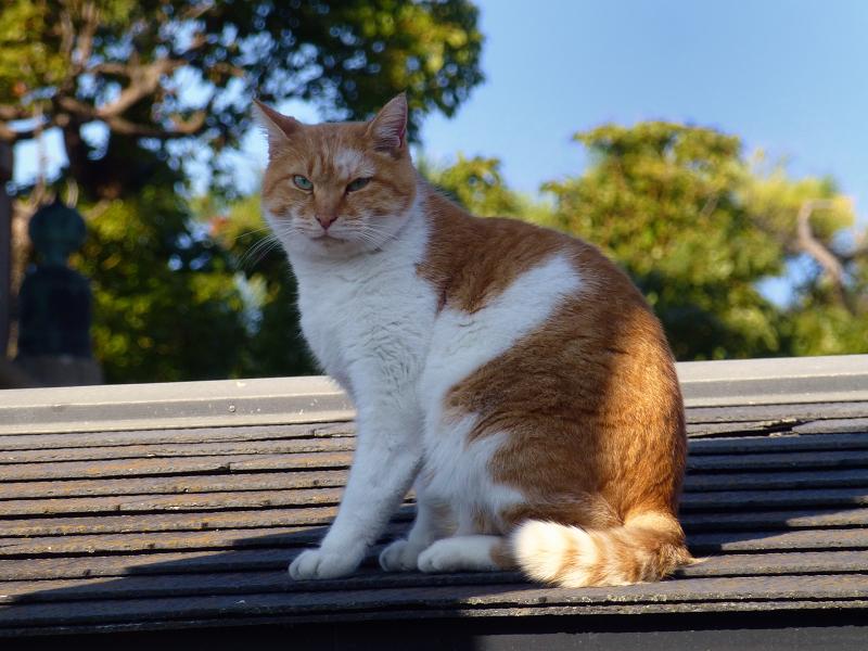 青空と屋根と山門と茶系の猫2