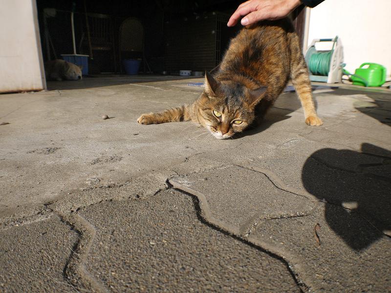 ガレージ前のサビ柄猫3