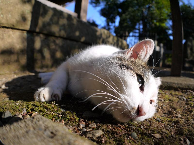 陽射しを受けて横になってる白キジ猫1