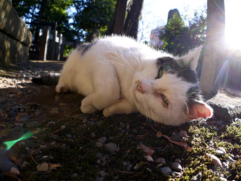 陽射しを受けて横になってる白キジ猫2