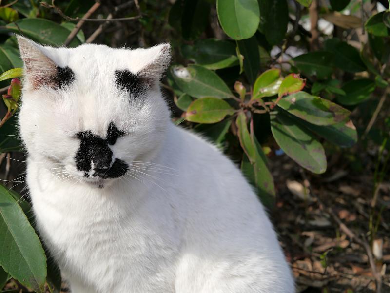 ユニーク柄の白ブチ猫1