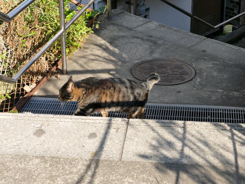 意気揚々と階段の上がるキジトラ猫1