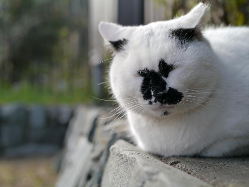 ユニーク柄の白ブチ猫2