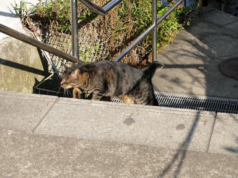 意気揚々と階段の上がるキジトラ猫2