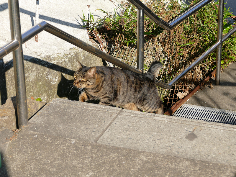 意気揚々と階段の上がるキジトラ猫3