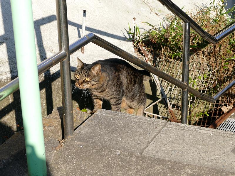 意気揚々と階段の上がるキジトラ猫4