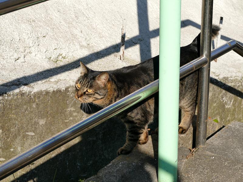 意気揚々と階段の上がるキジトラ猫5