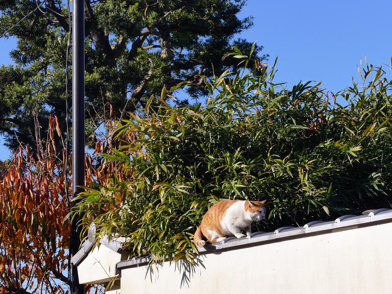 青空と笹の葉と茶白猫1