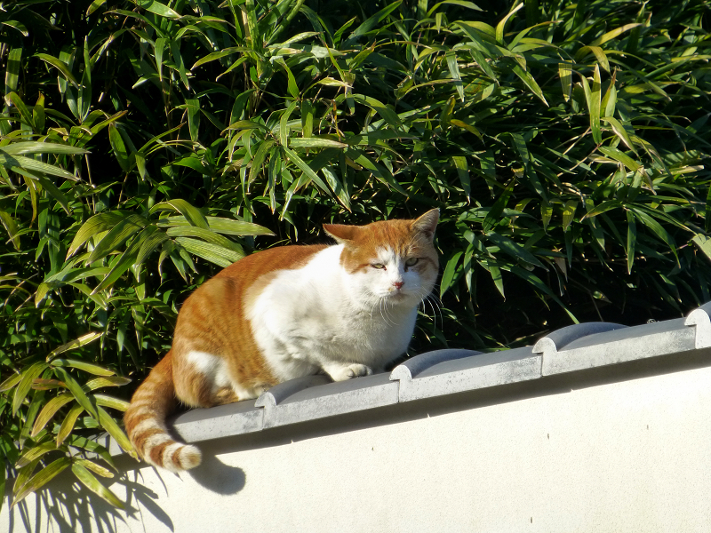 青空と笹の葉と茶白猫2