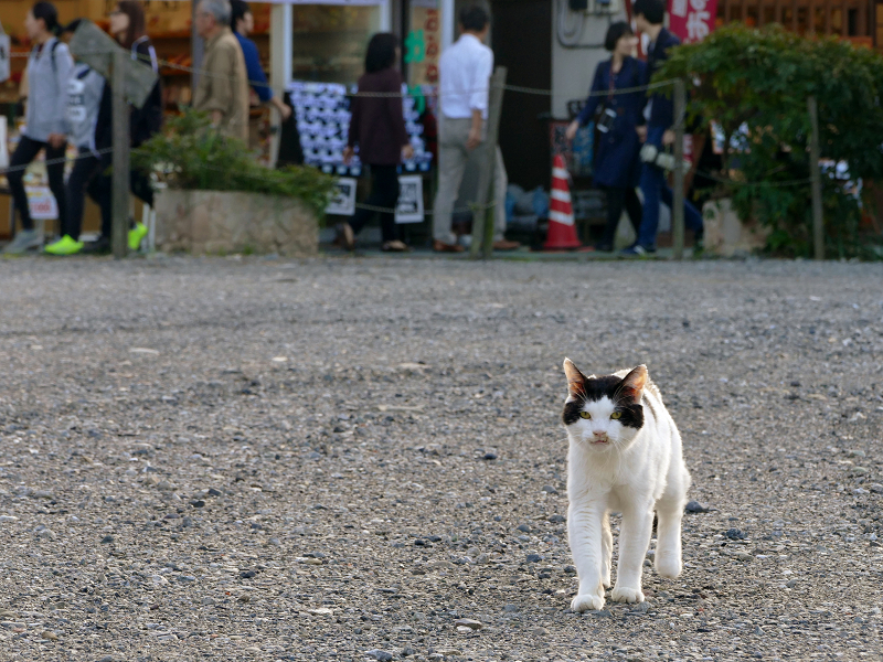 空き地を歩いてくる白黒猫3