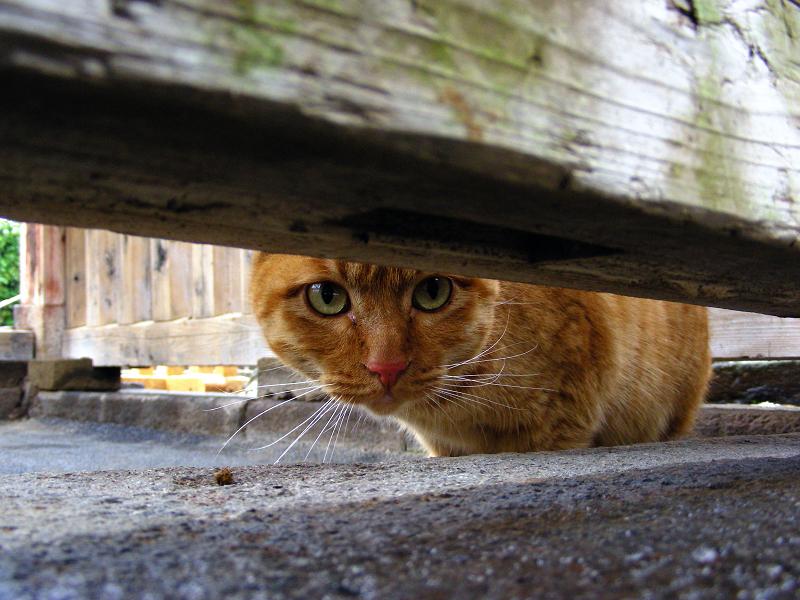 木の柵隙間と茶トラ猫1