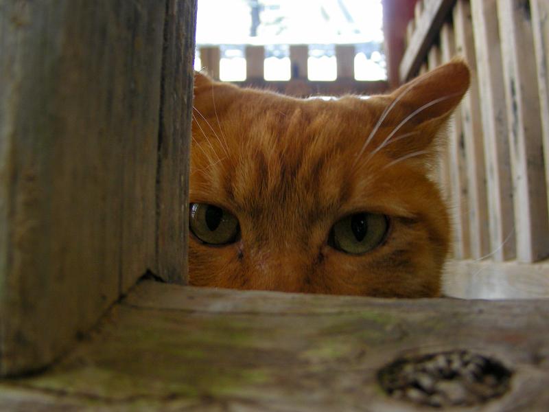 木の柵隙間と茶トラ猫3