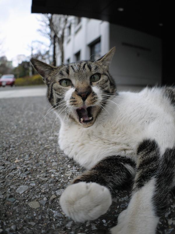 キジ白猫の欠伸1