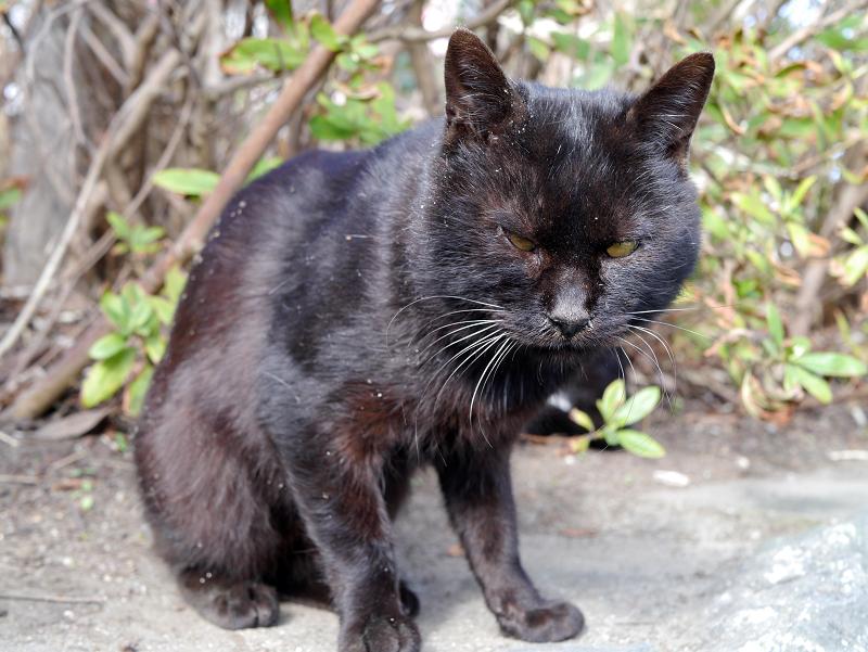 茂みの前で足を毛づくろいする黒猫1