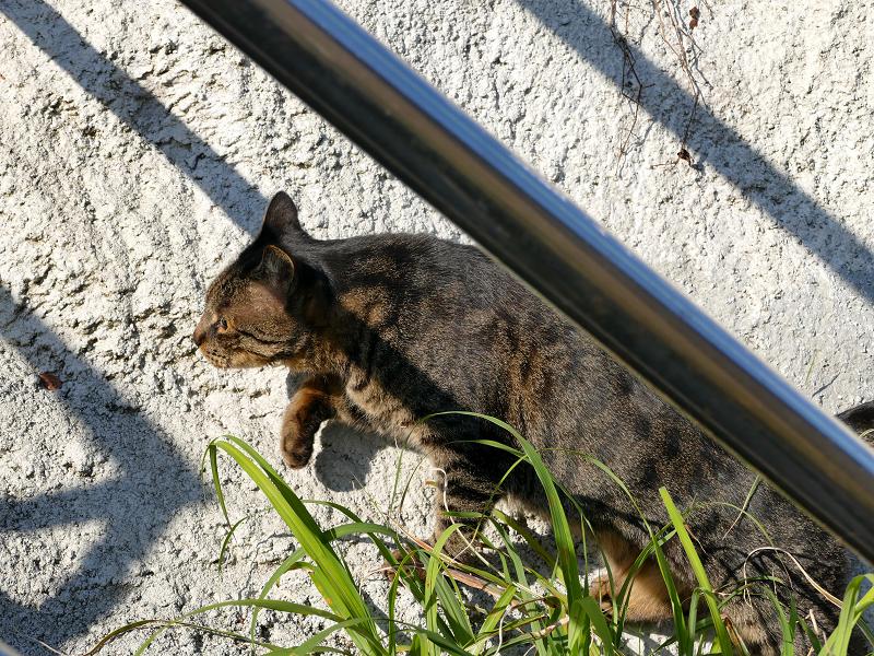壁を駆け上がるキジトラ猫2