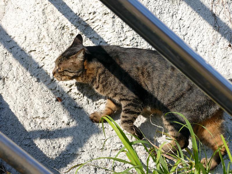 壁を駆け上がるキジトラ猫3