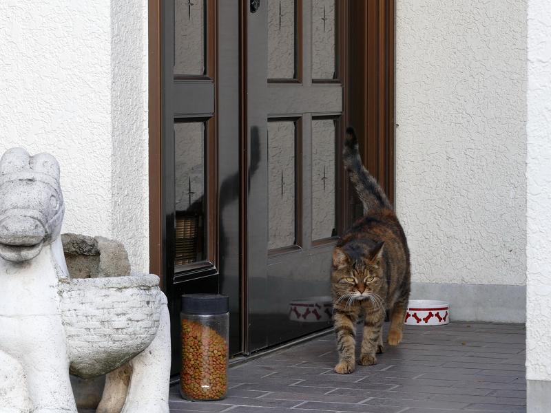 玄関から歩いてくるサビ柄猫1