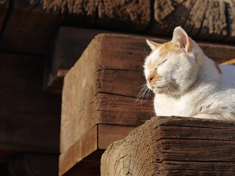 階段で腹ばってる茶白猫1