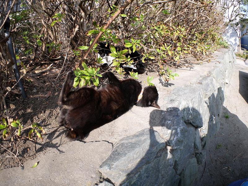 茂み前のスペースで転がる黒猫1