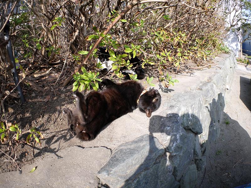 茂み前のスペースで転がる黒猫2