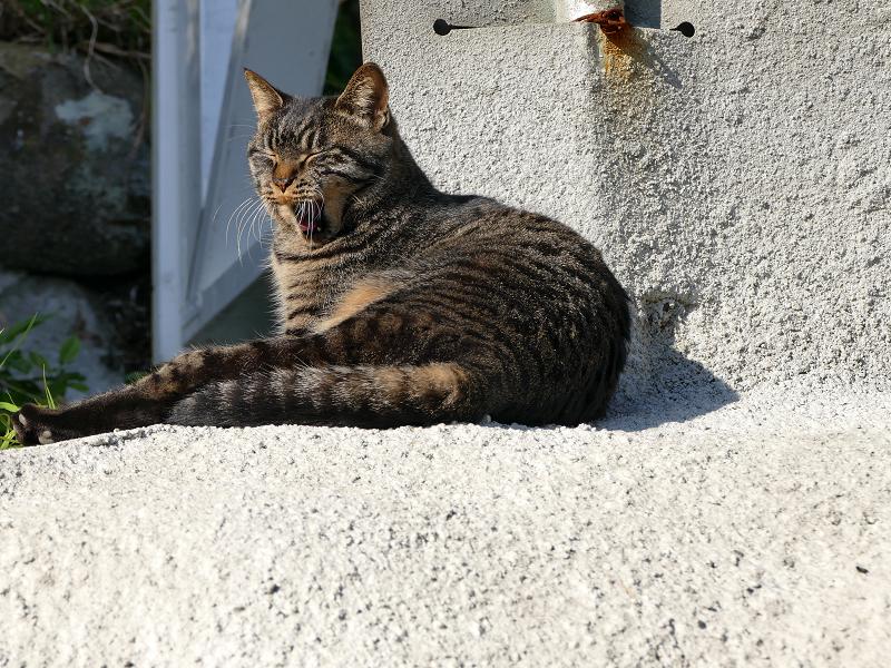 娘キジトラ猫の欠伸2