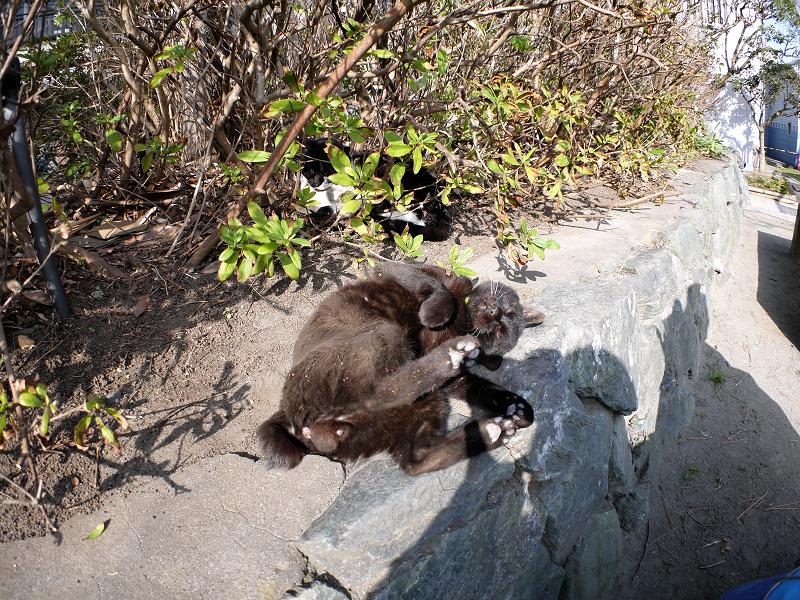 茂み前のスペースで転がる黒猫3